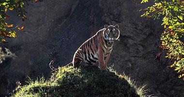نمر يقتل زائرا فى حديقة حيوان روسية