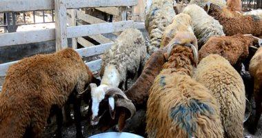 الزراعة تطرح أضاحى بسعر مخفض فى 18 محافظة والخراف بـ60 جنيها للكيلو