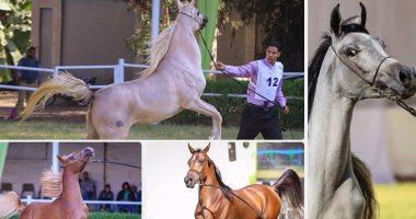 فى 17 خطوة.. تعرف على شروط تربية وتصدير الخيول العربية الأصيلة
