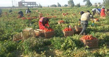 """لمزارعى الطماطم ..""""الزراعة """" تقدم روشتة للعروة الصيفية لزيادة الإنتاج"""