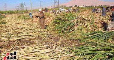 """""""التموين"""": ارتفاع معدلات إنتاج السكر من القصب لـ530 ألف طن حتى الآن"""