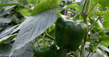 """""""الزراعة"""" تقدم روشتة لمزارعى الفلفل لزيادة الإنتاج.. اعرف التفاصيل"""