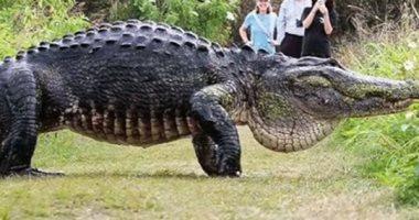 """بالفيديو.. ظهور """"تمساح عملاق"""" فى فلوريدا يثير الذعر بأمريكا"""