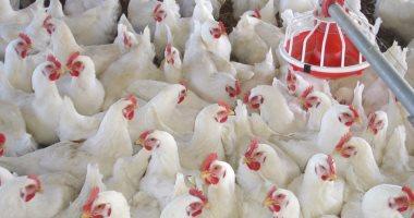 15 شرطًا لإقامة مزرعة دواجن وإنتاج حيوانى بالأراضى الصحراوية.. تعرف عليها