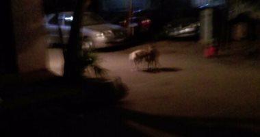 شكوى من انتشار الكلاب الضالة فى شوارع الزيتون بالقاهرة