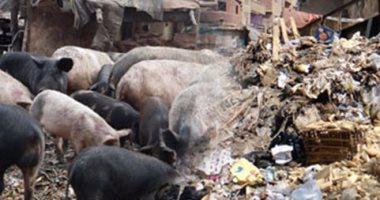 حمى الخنازير الأفريقية تتفشى فى أكبر مزرعة للخنازير برومانيا