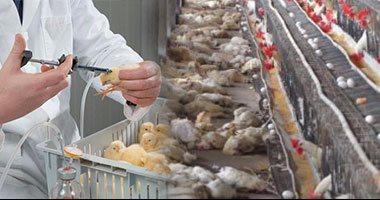 """خطة """"الزراعة"""" لمواجهة موسم أنفلونزا الطيور.. فحص""""الفراخ"""" قبل التسويق.. ونشر فرق ولجان تقصى بمزارع الدواجن والأسواق.. وسحب عينات بـ39 منطقة للطيور المهاجرة.. ومعاينة المفرخات وإعداد شهادات الأمان الحيوى"""