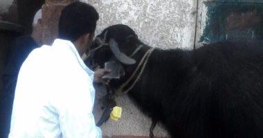 """""""الطب البيطرى""""ببورسعيد: تحصين 8860 رأس ماشية خلال 3 أسابيع إنجاز"""