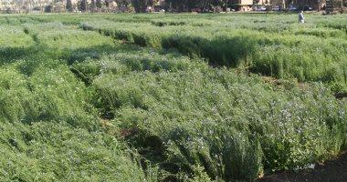 """""""س & ج"""".. ما لا تعرفه عن زراعة الكتان بمصر؟.. يستخدم فى صناعة """"البنكنوت"""""""
