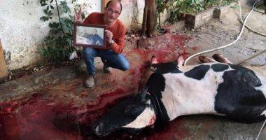 بالصور..أحد مؤيدى مبارك يذبح عجلا وفاء بنذره بعد عودة الرئيس الأسبق لمنزله