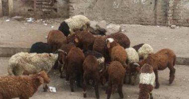 سقوط تشكيل عصابى تخصص فى سرقة الماشية بمحافظة بورسعيد