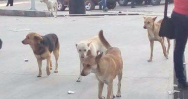 الكلاب الضالة تهدد سكان الهانوفيل وقارئ يطالب بنقلها بعيدا