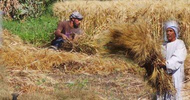 استقرار سعر القمح الروسى بسبب قوة الروبل والطلب التركى