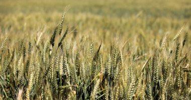 الزراعة: نستهدف زراعة 300 ألف فدان قمح بأرض الإصلاح الزراعى بالموسم الجديد