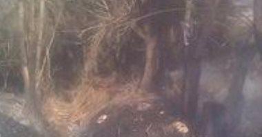 احتراق محصول قمح مزارع بعد حصده بسبب شرارة كهربائية بالدقهلية