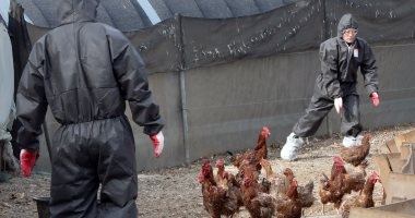 بريطانيا ترصد إصابات بإنفلونزا الطيور فى 17 طائرا