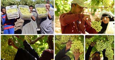 انطلاق موسم حصاد العنب بمحافظة الأقصر