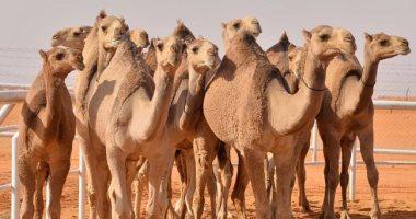 الحجر البيطرى بأسوان يستقبل 3 آلاف رأس من الإبل القادمة من السودان -