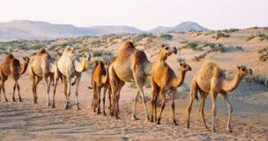 الإفراج عن 2980 رأس إبل واردة من السودان عبر منفذ أرقين البرى