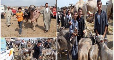 أبقار وجاموس وماعز وخراف.. الأضاحى على كل شكل ولون بسوق بنها