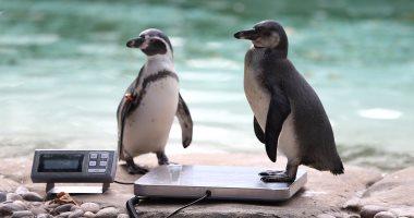 """أعداد """"البطريق الملك"""" تتراجع بنسبة 90% فى أكبر مستعمراته بالمحيط الهندى"""