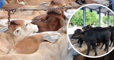 استعدادا لعيد الأضحى.. الزراعة تستقبل 70 ألف رأس ماشية لطرح أضاحى العيد.. وتؤكد: استقرار فى أسعار اللحوم.. ولجان مكثفة بالمحاجر البيطرية لفحص الماشية.. حملات بالمجازر وأماكن عرض وبيع المنتجات الحيوانية