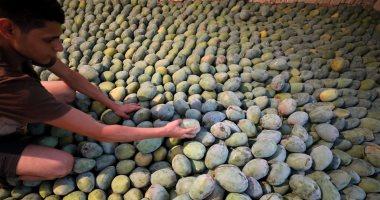 """""""الزراعة"""" تعلن عن ارتفاع صادرات العنب والمانجو لـ130ألف طن واستمرار الشحن"""