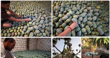 """""""الزراعة"""" تكثف برامجها التوعوية فى حقول أشجار المانجو لمقاومة العفن الهبابى"""