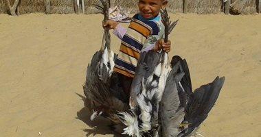 بالصور .. انطلاق موسم صيد السمان والعصافير على سواحل شمالى سيناء