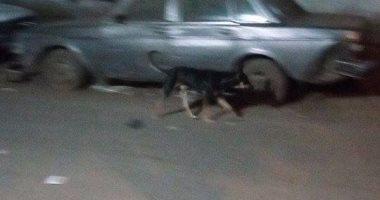 انتشار الكلاب الضالة فى شارع الأصبغ بالزيتون.. والأهالى يطالبون بحلول