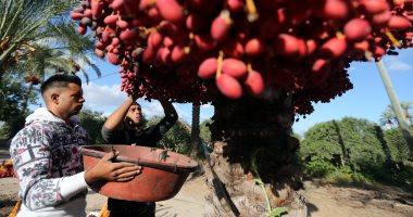 فرحة مزارعو قطاع غزة بموسم حصاد البلح