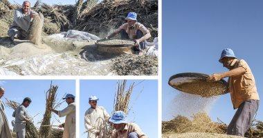 موسم حصاد السمسم.. أهرام الرزق تنثر الخير للفلاحين