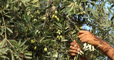 """""""الزراعة"""" تعلن نصائحها لأشجار الزيتون لزيادة الإنتاج.. تعرف عليها"""