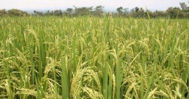 الرى: صور الأقمار الصناعية تكشف زراعة 576 ألف فدان بالأرز حتى الآن