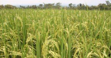 """""""الرى"""": لا علاقة لسد النهضة بتقليل المساحة المنزرعة من الأرز"""
