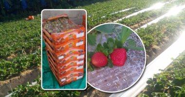 الزراعة: ارتفاع صادرات الفراولة لـ19 ألفا و301 طن.. اعرف التفاصيل