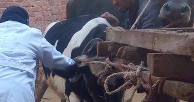 """""""الزراعة"""" تكثف برامج التحسين الوراثى لسلالات الماشية لزياد انتاج اللحوم"""
