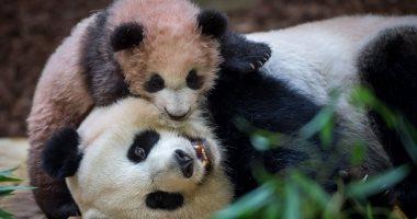 """صور.. الباندا """"هوان هوان"""" تساعد طفلتها على التعايش فى حديقة حيوان فرنسا"""