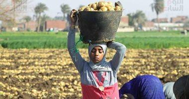 موسم حصاد البطاطس
