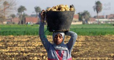 حصاد البطاطس - صورة أرشيفية