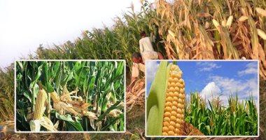 الزراعة: 2.661 مليون فدان منزرعة بالذرة.. ولجان لتدقيق المساحات