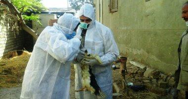 نصائح من الطب البيطرى بالدقهلية للوقاية من إنفلونزا الطيور