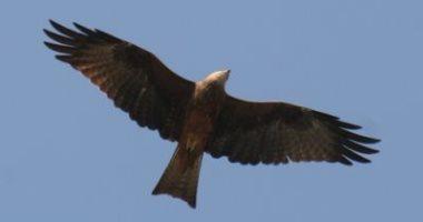 طائر الحداة الأسود يشعل الحرائق ليفتح منطقة لصيد فريسته