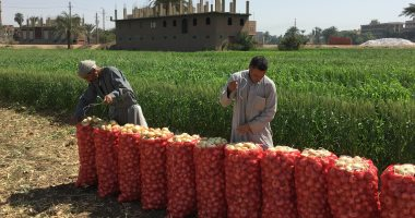 الزراعة: ارتفاع صادرات البصل لـ 204 آلاف طن وجميع الشحنات تلتزم الاشتراطات