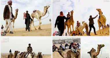 مهرجان الهجن بالإسماعيلية ينعش سياحة السفارى