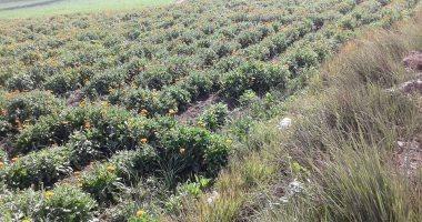 الفيوم أرض النباتات العطرية وأولى المحافظات تصديرا لها.. تعرف على التفاصيل