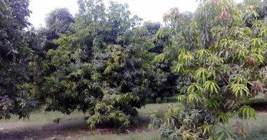 الموافقة على تصدير 30 ألفًا و504 شتلات من الموز والمانجو خلال أسبوع