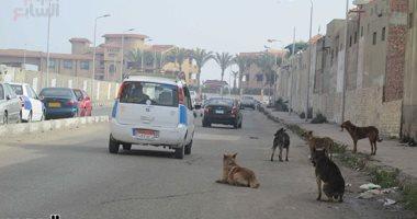 شكوى من انتشار الكلاب الضالة بشارع المدينة المنورة بمنطقة بشتيل