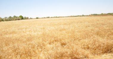 """الزراعة: ننسق مع """"التموين"""" لتجنب وقوع أية مشكلات خلال موسم توريد القمح"""