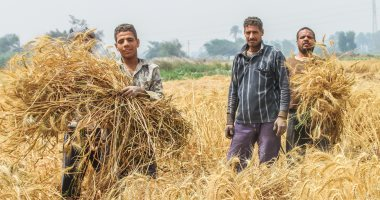 """""""الزراعة"""" تعلن حصاد 790 ألف فدان قمح.. وجار الدراس والتوريد لـ""""التموين"""""""